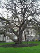 Oregon Oak #1 - Trinity College