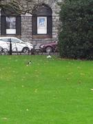 Chatty Magpie - Trinity College