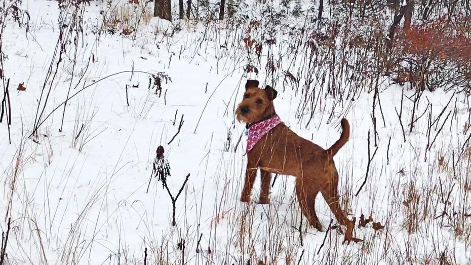 Seamus the Irish Terrier
