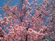 Prunus 'Okame'0001_2