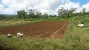 paw paw (Papaya) 600 plants planted in 1 day