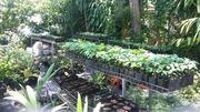 pawpaw (Papaya) nursery