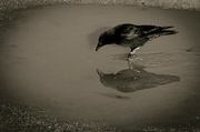 Magpies, Ravens, and Crows--Oh My!