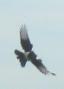 Lapoused (Birds)