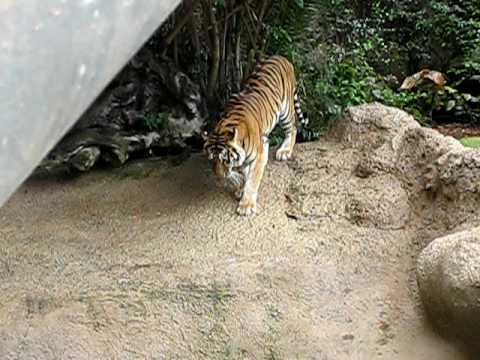 Tiger in Loro Parque