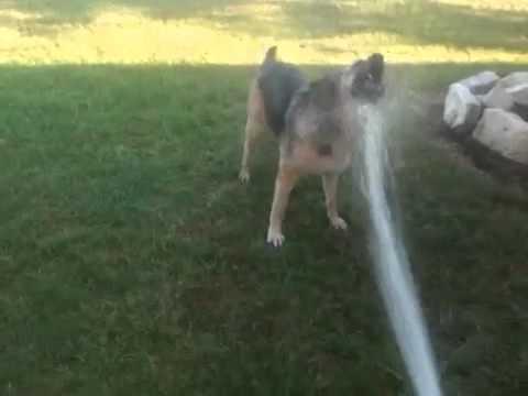 Cute Dog Attacks Water