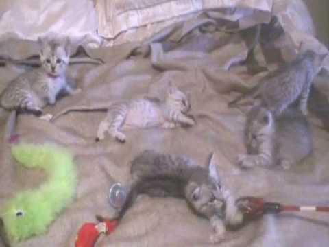 Egyptian Mau Kittens