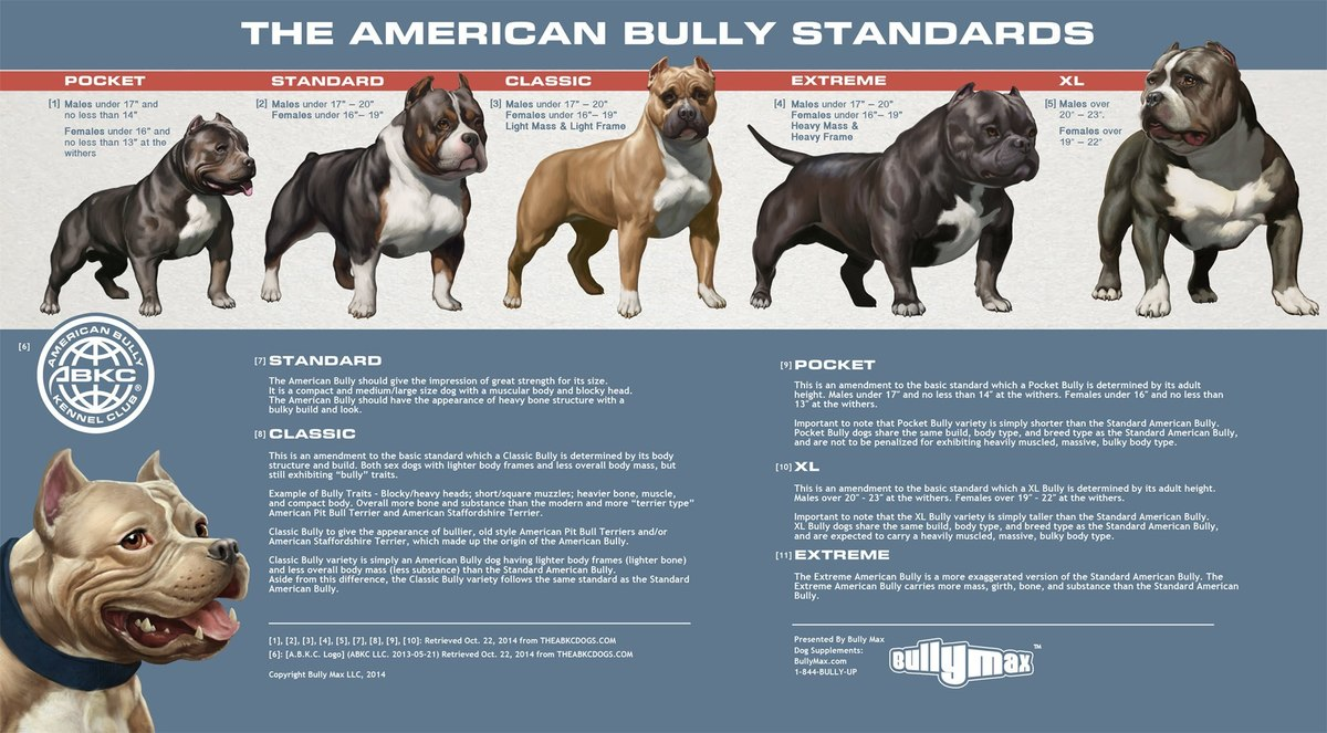 American Bully Classes Side by Side - Bully Breed Photos