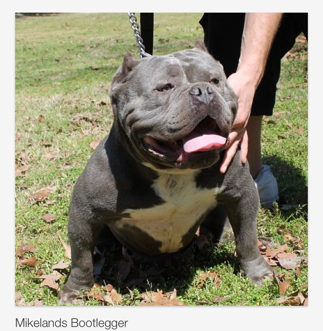 Mikeland's Bootlegger - Bully Breed Photos - This Is Bully