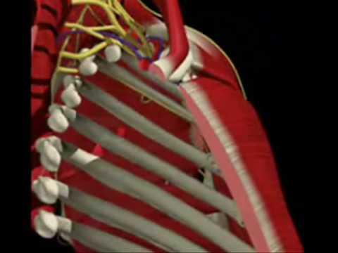 Ombro, Clavícula e Escápula-biomecânica