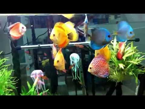 Freshwater Aquarium Fish_ 960 Gallons Planted Discus Tank beautiful 2016 Full HD