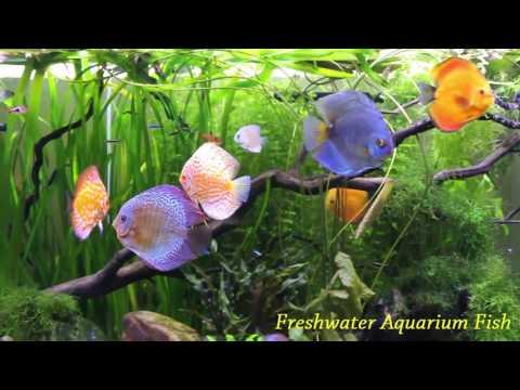 The tank discus fish beautiful - HD