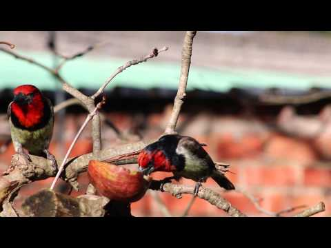 houtkapper/black-collard barbet