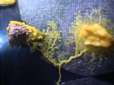 Physarum polycephalum Eating Wild Fungus