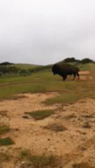 Ever seen A Buffalo on a Ride? These guys were brought to the Island to film a Western and never le…