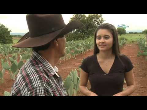 Cultivo e uso da palma forrageira no Semiárido mineiro