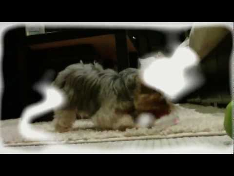Yorkie running free out side in slow motion