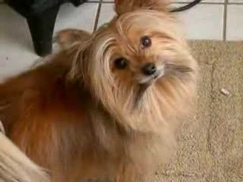 Gizmo - Blackbird (cute Pom-yorkie dog)