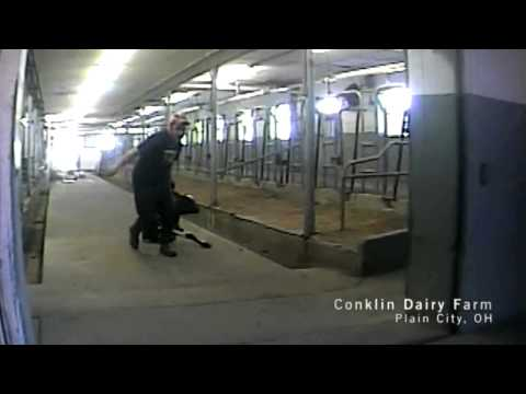 Veal Calves Ripped And Dragged From Mother Cows_Undercover Video_MFA