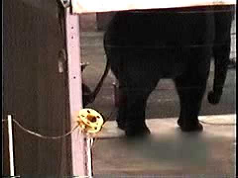 Circus Cruelty: Baby Elephants