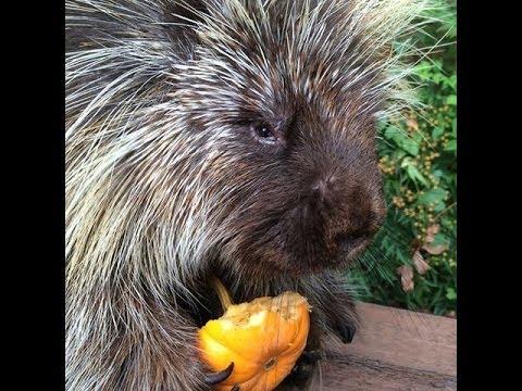 Adorable Porcupine LOVES Pumpkin