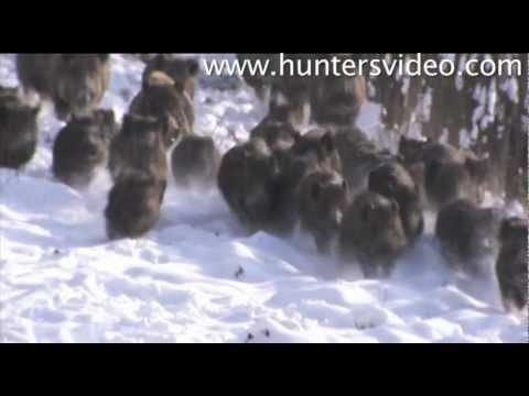 Sangliers en battues  en Hongrie (Hunters Video)