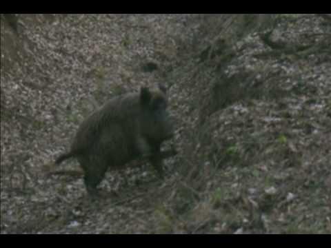 Wild Boar fever 1/2