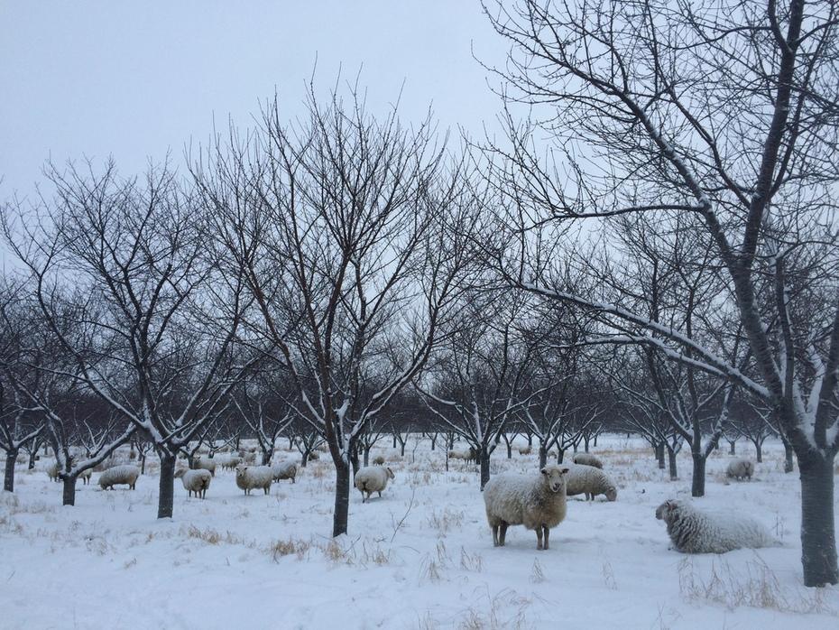 Cherry Orchard Winter
