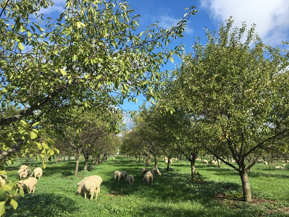 Cherry Orchard Lambs