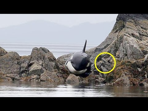 After This Orca Got Stranded, It Lied There for Hours Crying