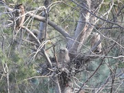 The Raptors of Griffith Park – What the Survey Says