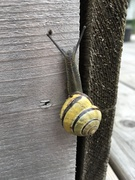 Snail on Raised Garden Bed...