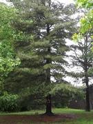 Golden Bauble Tree - pinecones in first bloom