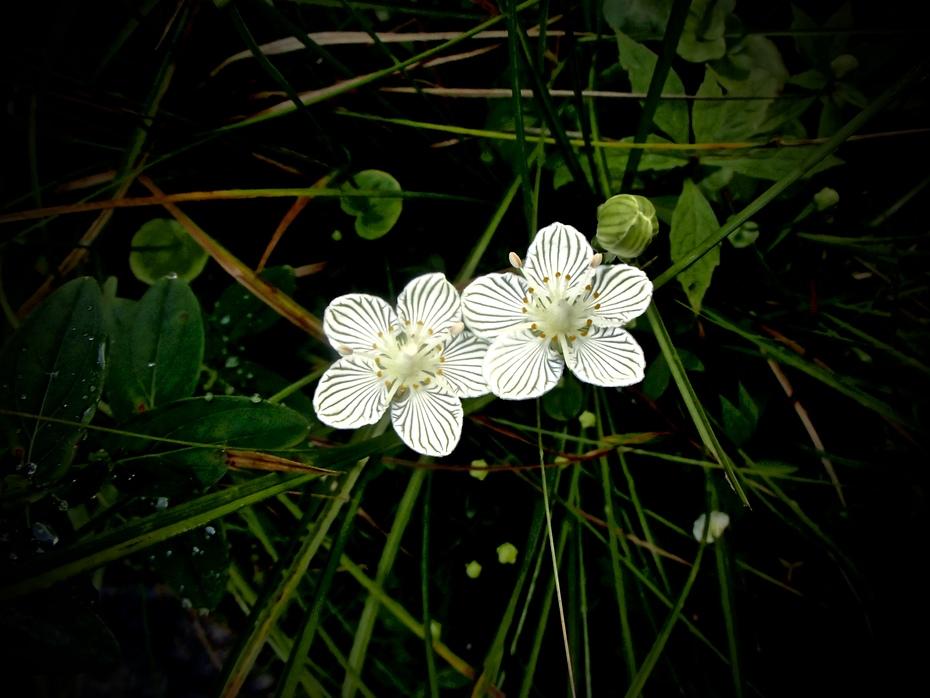 Grass-of-Parnassus on Styx Branch