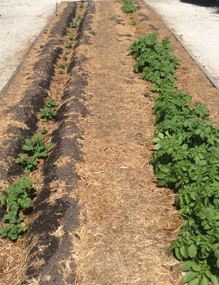 Succession planting 30 x row