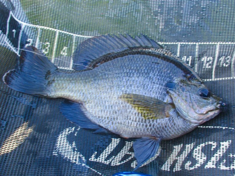 Bluegill fly fishing 9.30.2019
