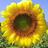 Sunflowersower