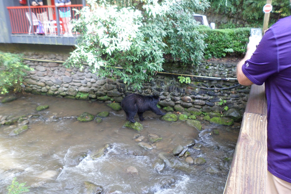 Bear in stream