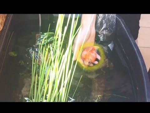 Adding *FISH* to my Patio Pond!