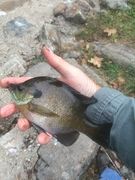 "8""River Bluegill Low Water"