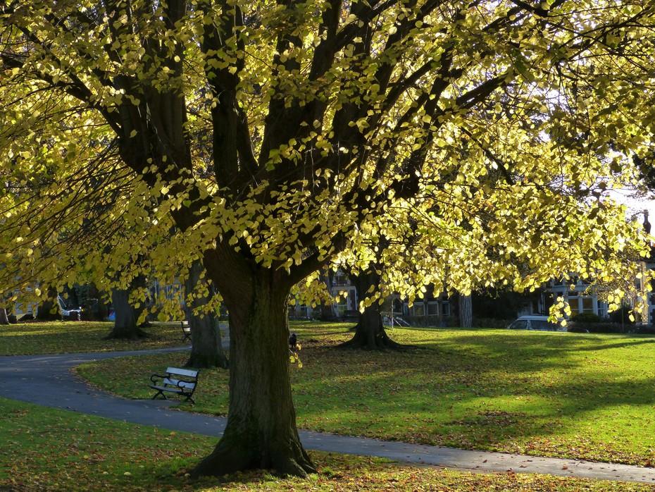 Lime tree, Nov 7th '19
