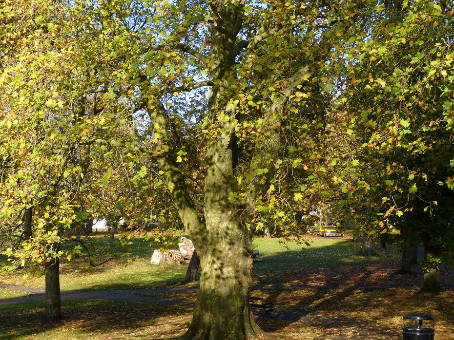 Leaves falling fast now, Nov 7th '19