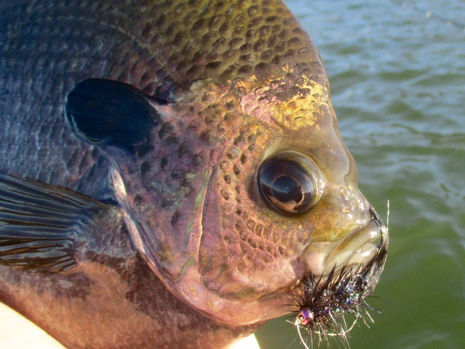 Lake Perris, CA bluegill fly fishing Nov. 8, 2019
