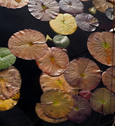 Lillypads in the fall