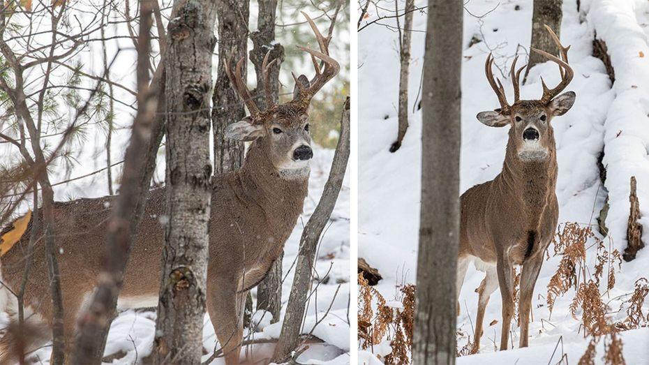Three-Antlers-deer-Marquette-Michigan