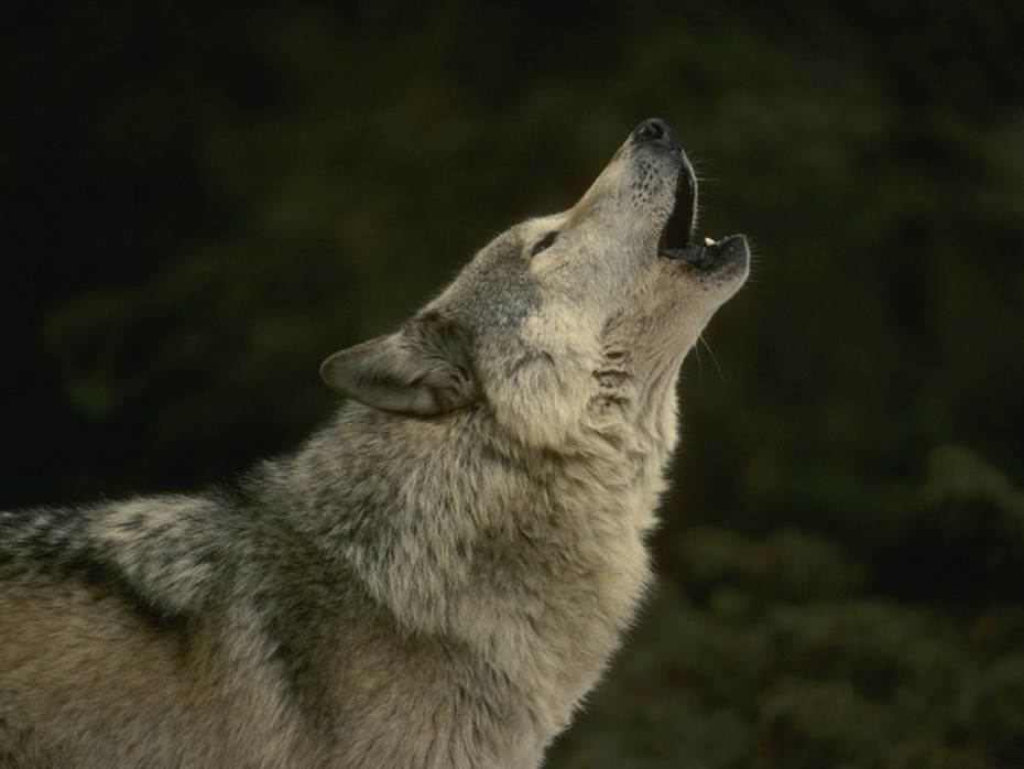 All_About_Wolves