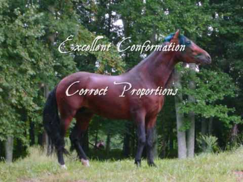Templar M - PRE Bay Stallion with Black Gene