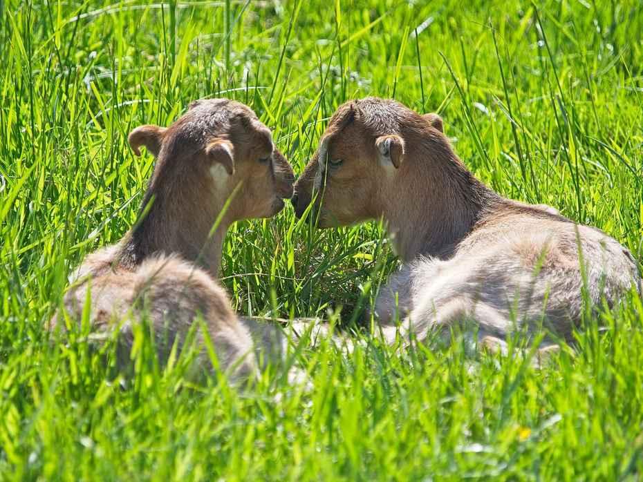 Goat Whispers