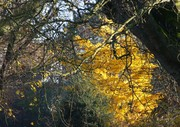 Ginkgo leaves shimmer through the bare boughs of the Limes, Nov 29th,19