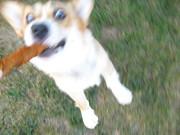 jumping for bone corgi!